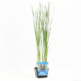 Typha - vijverplant