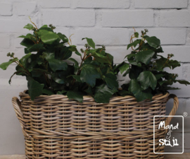 Set French Ivy groot