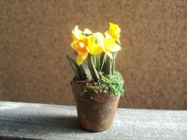 Daffodils in plant pot