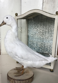 Opgezette witte eend