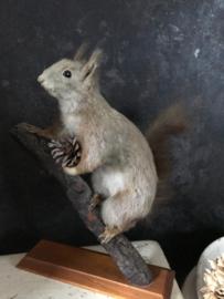 Opgezette eekhoorn
