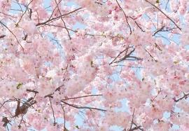 foto behang Idealdecor Pink Blossoms 155
