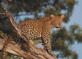 Rasch RoomArt Leopard 847505