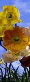 2-1257 Komar Fotobehang Poppy bloemen geel oranje behang