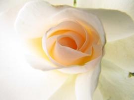 Fotobehang - Bloemen - Rozenhart - Heart of a Rose