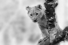 Fotobehang - Zwart wit - Leeuw - Lion cub