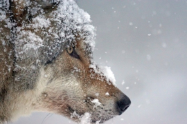 Fotobehang - Wolf