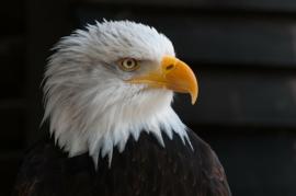 Fotobehang - Adelaar - Fotobehang Adelaar / Eagle II