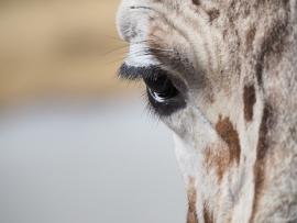 Fotobehang - Giraf - oog // Eye Giraffe