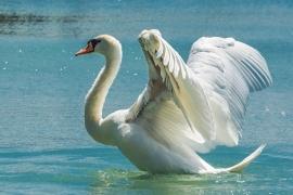 Fotobehang - Dieren - Zwaan - Swan