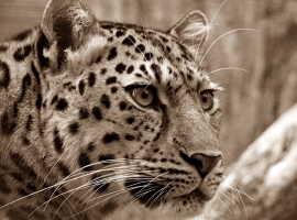 Fotobehang - Dieren - Cheetah