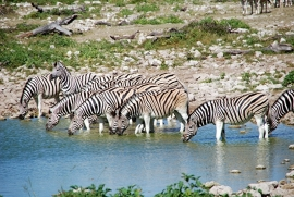 Fotobehang - Zebra Groep - Group of zebras