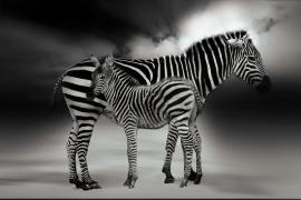 Fotobehang - Zwart-Wit - Zebra met jong