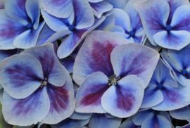 Fotobehang  Hortensia - Fotobehang Hortensia blauw