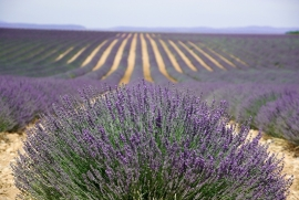 Fotobehang - Bloemen - Lavendel- Provence