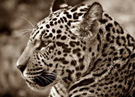 Fotobehang - Jaguar - Fotobehang Jaguar