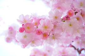 Fotobehang - Kersenbloesem - Japanese Cherry Blossom