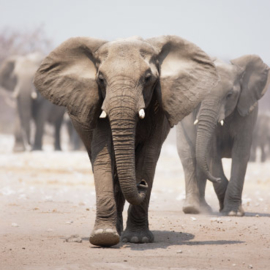 Fotobehang - Olifanten - Elephant