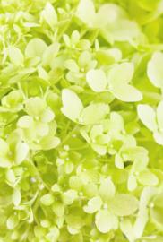 Fotobehang - Bloemen - Hortensia wit