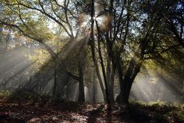 Fotobehang - Bomen & Bos - Lichtval op Bos - Lightfall through trees