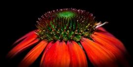 Fotobehang - Bloemen - Echinacea