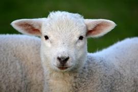 Fotobehang - Dieren - Lammetje - Little Lamb
