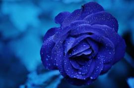 Fotobehang - Bloemen - Blauwe roos