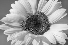 Fotobehang  Zonnebloem II - Sunflower II