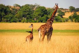 Fotobehang - Giraffes