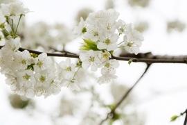 Fotobehang - Bomen & Bos - Appelbloesem - Apple Blossom