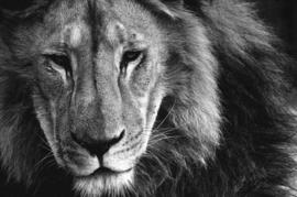 Fotobehang - Zwart wit - Leeuw - Fotobehang Zwart wit - Leeuw