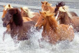 Fotobehang - IJslandse paarden - Iceland horses