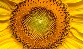Fotobehang  Zonnebloem - Sunflower