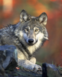Fotobehang - Wolf ( staand )