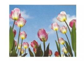 Fotobehang - Hollandse Tulpen - Extra Voordeel  Aanbieding !