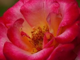 Fotobehang - Macrofotografie - Roos - Rose