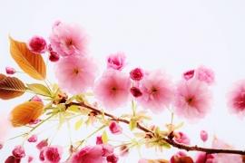 Fotobehang - Bloesem 2 - Blossom 2