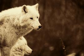 Fotobehang Wolven - Fotobehang witte Wolven