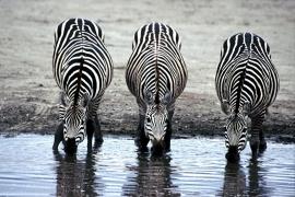 Fotobehang - Zebra - Drie drinkende zebra's - Three zebras drinking