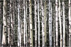 Fotobehang - Zwart wit - Fotobehang Berken bos in zwart wit