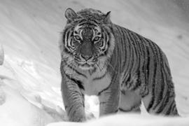 Fotobehang - Zwart wit - Tijger - Siberische tijger