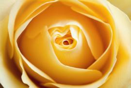 Fotobehang - Bloemen - Gele roos - Yellow rose
