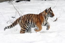 Fotobehang - Tijger - Tijgerjong in sneeuw