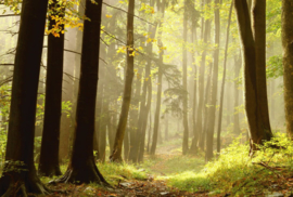 Fotobehang - Bomen & Bos - Forest by sunlight