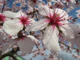 Fotobehang - Prunus Dulcis ( Amandelbloesem )