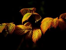 Fotobehang - Bomen & Bos - Herfstblad 1 - Autumn Leaves 1