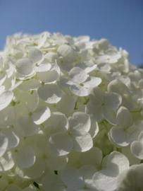 Fotobehang - Hortensia - Fotobehang Hortensia wit ( staand )