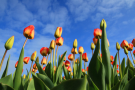 Fotobehang  Tulpen - Tulpen aan blauwe hemel