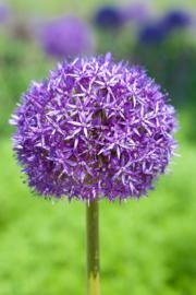 Fotobehang - Bloemen - Lelies - Honinglelie