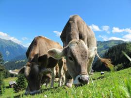 Fotobehang Koeien - Fotobehang Zwitserse Koeien in de bergen